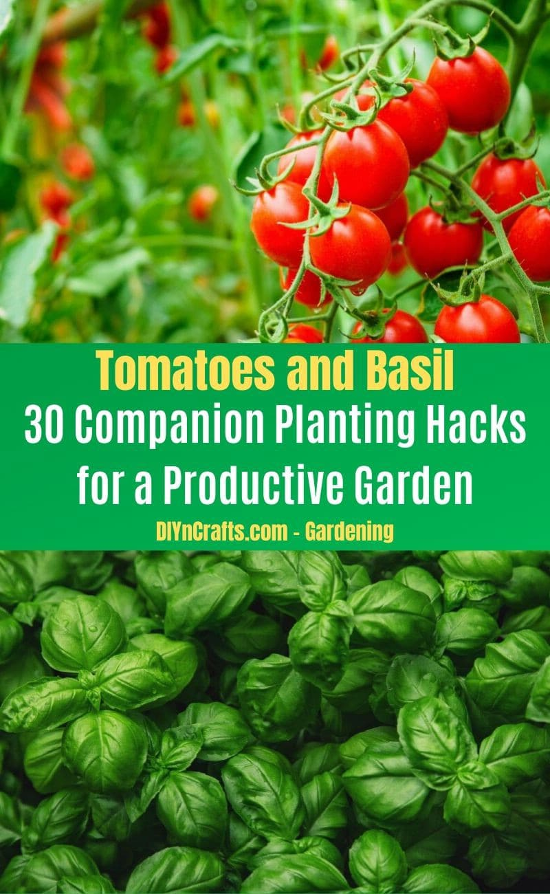 Tomatoes and Basil - Companion planting pairs
