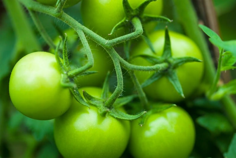 Green tomatoes.