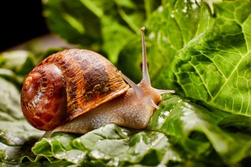 Snails in the garden.