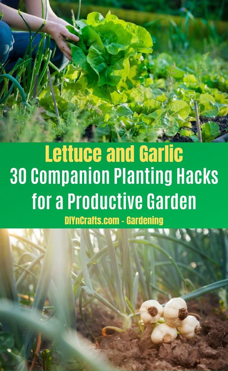 Lettuce and Garlic - Companion planting pairs