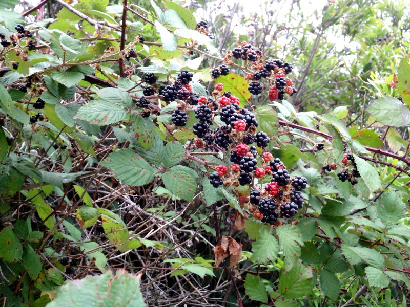 Boysenberries - Berry bushes to grow in your garden