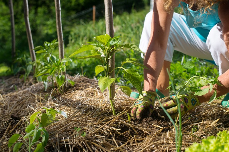 Mulching tomato plants for better water economy.