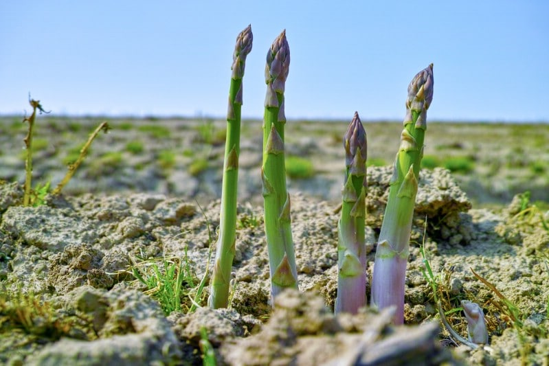 Asparagus growing in the spring.