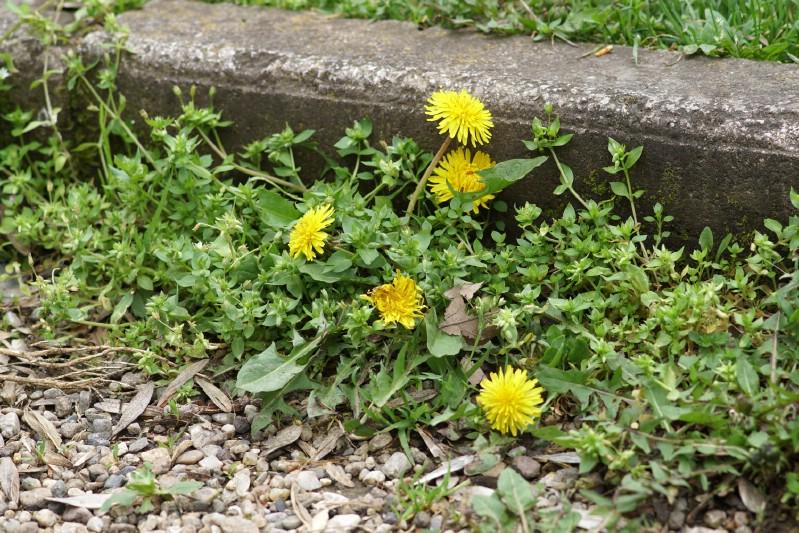 Weeds grown in the garden