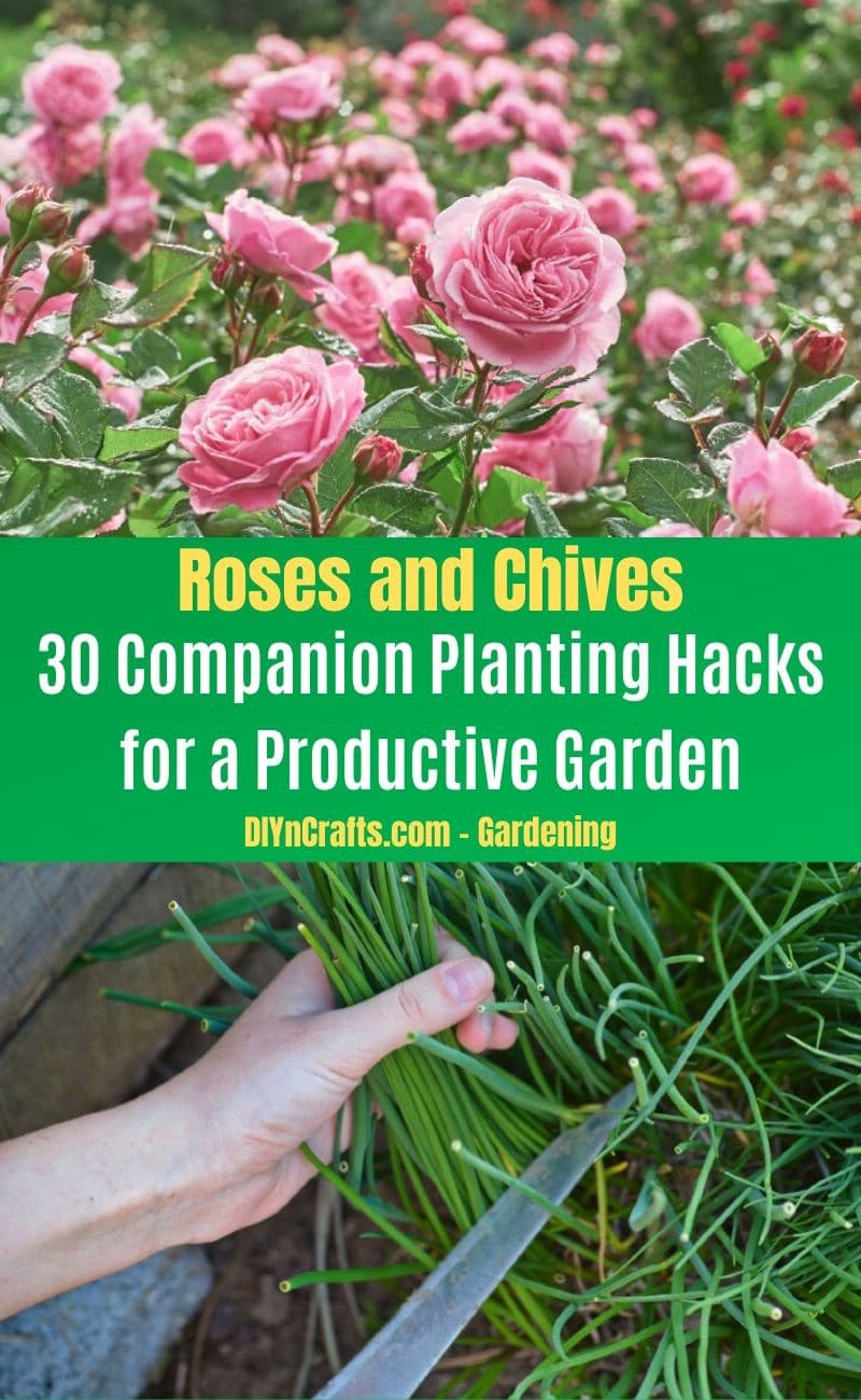 Roses and Chives - Companion planting pairs