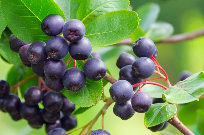 Aronia Berries - Berry bushes to grow in your garden
