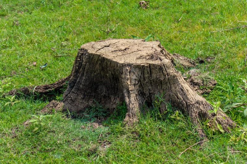 Removing tree stumps using Epsom salt.