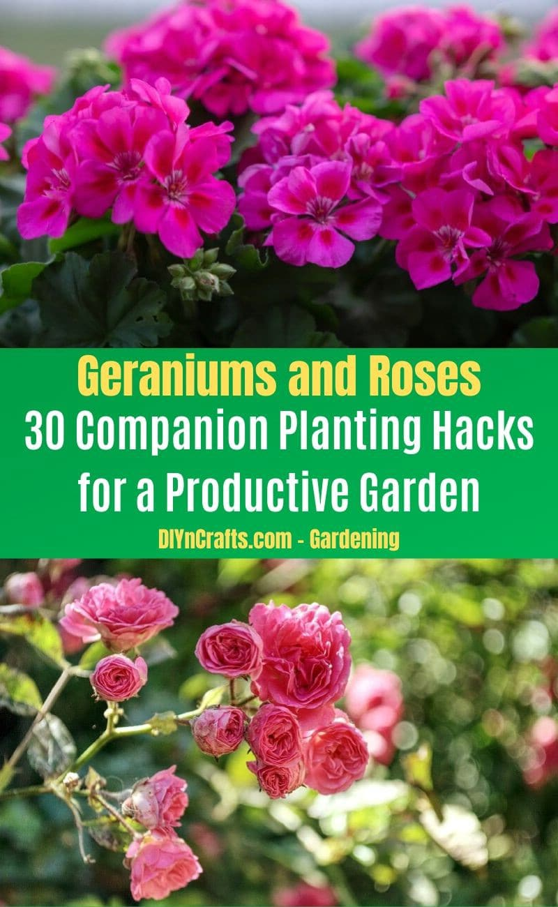 Geraniums and Roses - Companion planting pairs