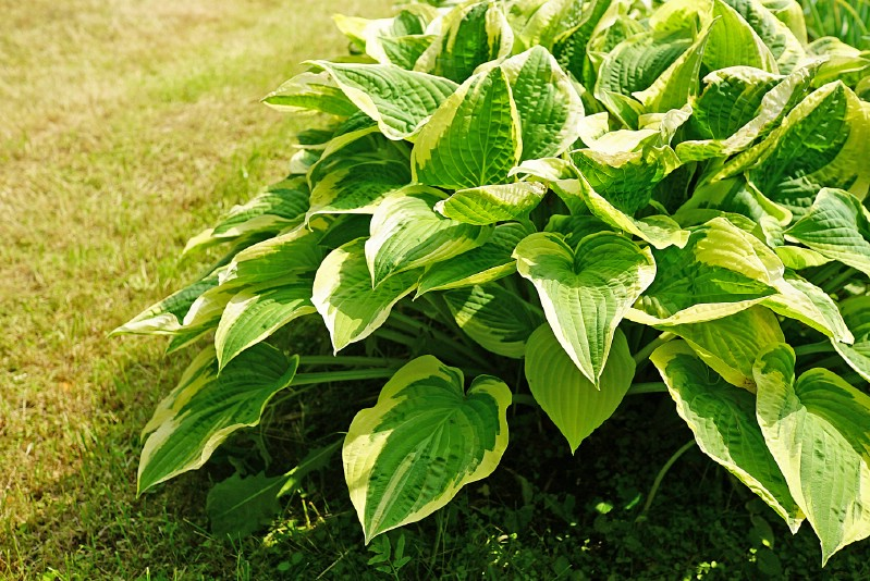 Hostas decorating the garden with lovely foliage