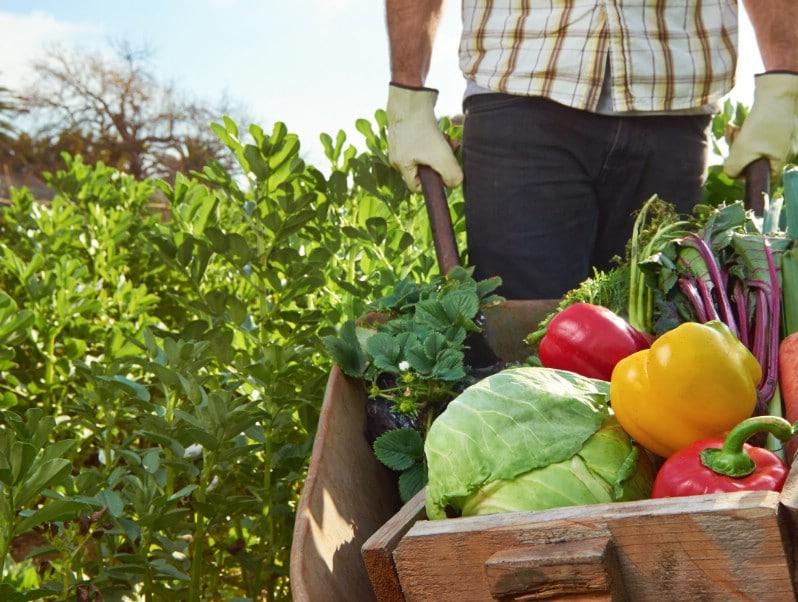 Harvesting fresh vegetables.