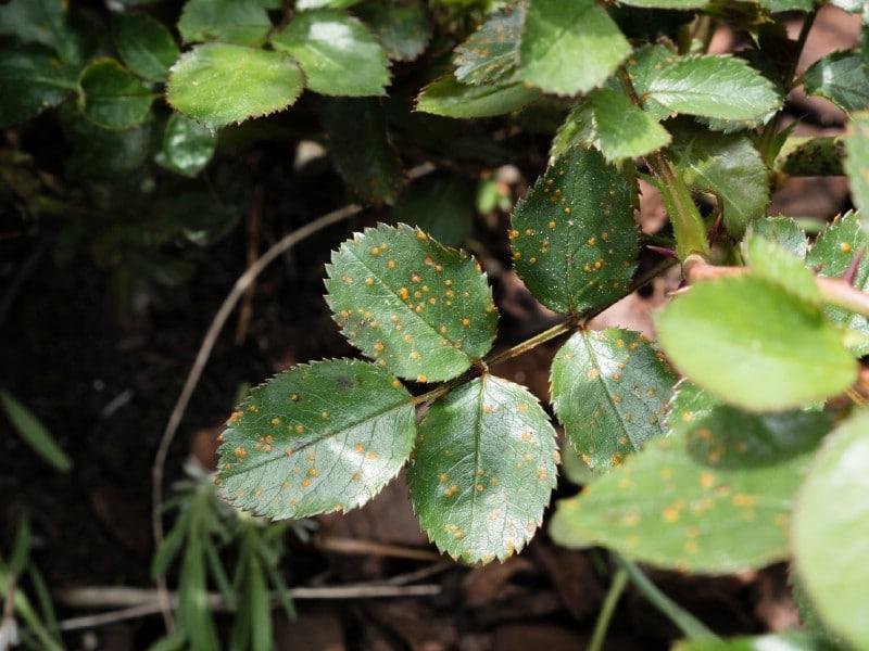 Rose fungus