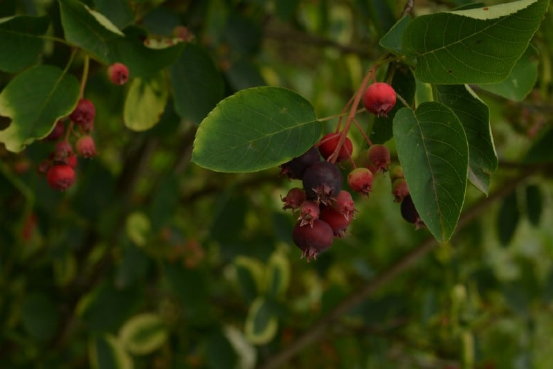 Serviceberry - Berry bushes to grow in your garden