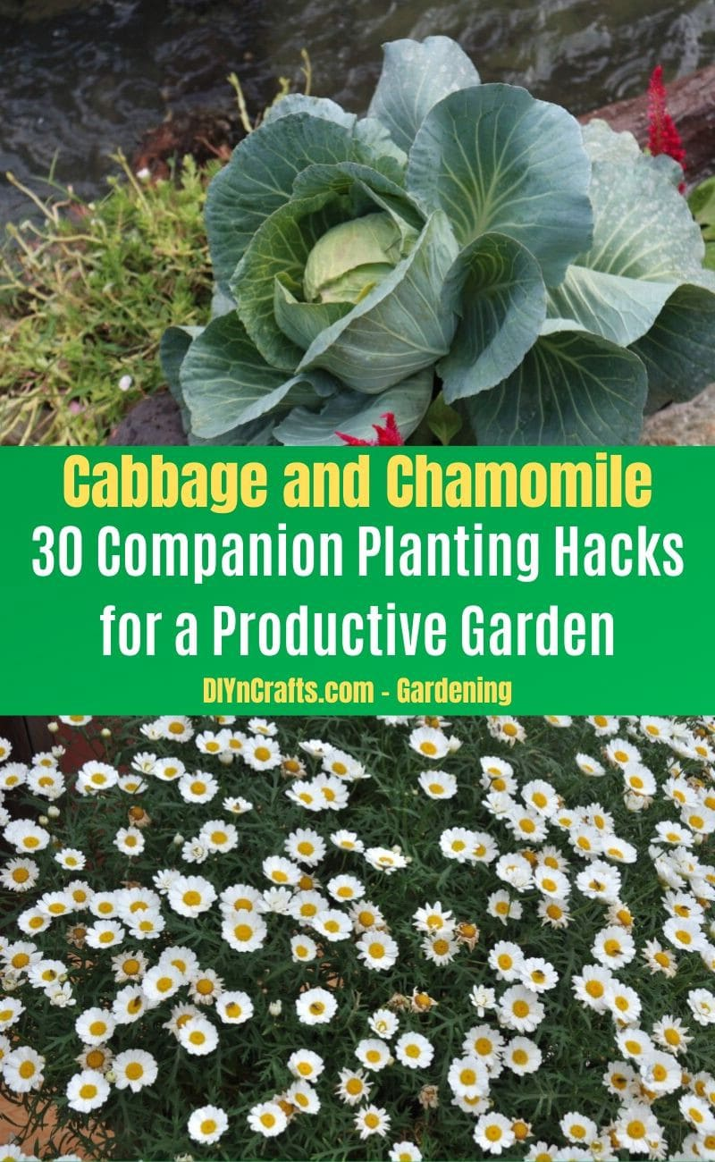 Cabbage and Chamomile - Companion planting pairs