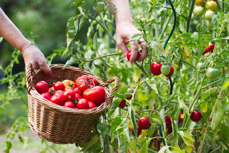 Harvesting lots of tomatoes.