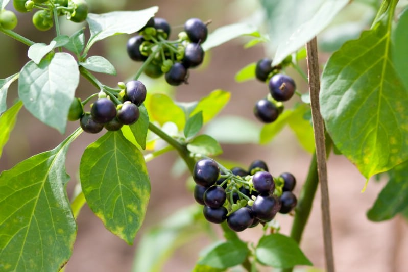Wonderberry - Berry bushes to grow in your garden