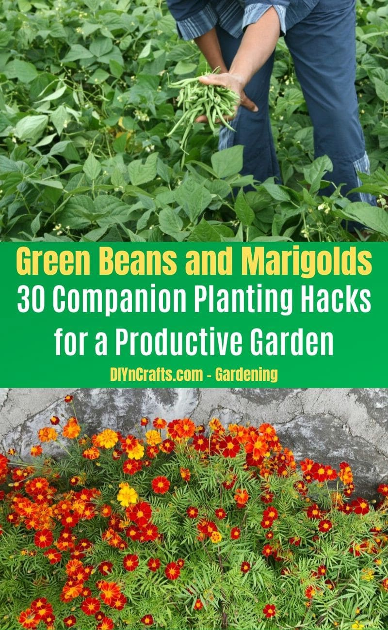 Green Beans and Marigolds - Companion planting pairs