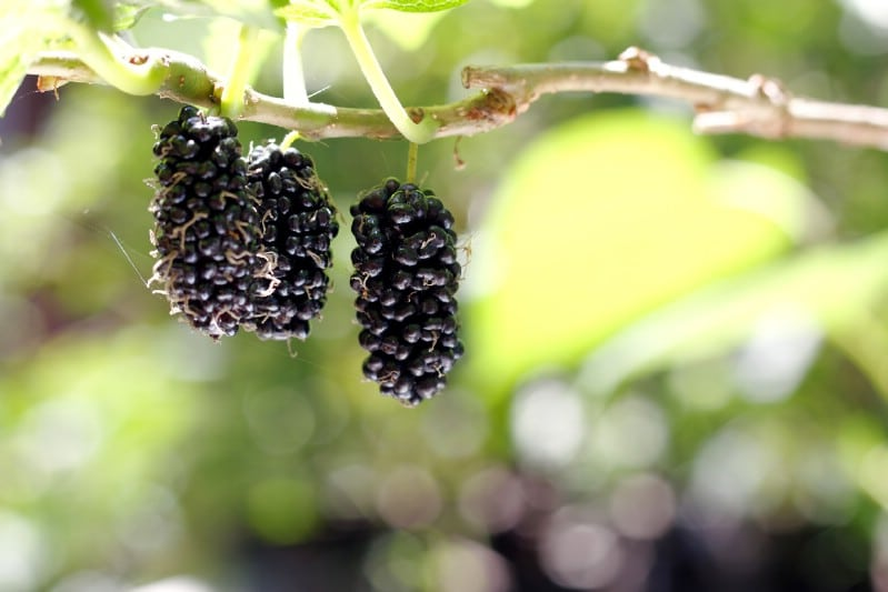 Mulberry - Berry bushes to grow in your garden
