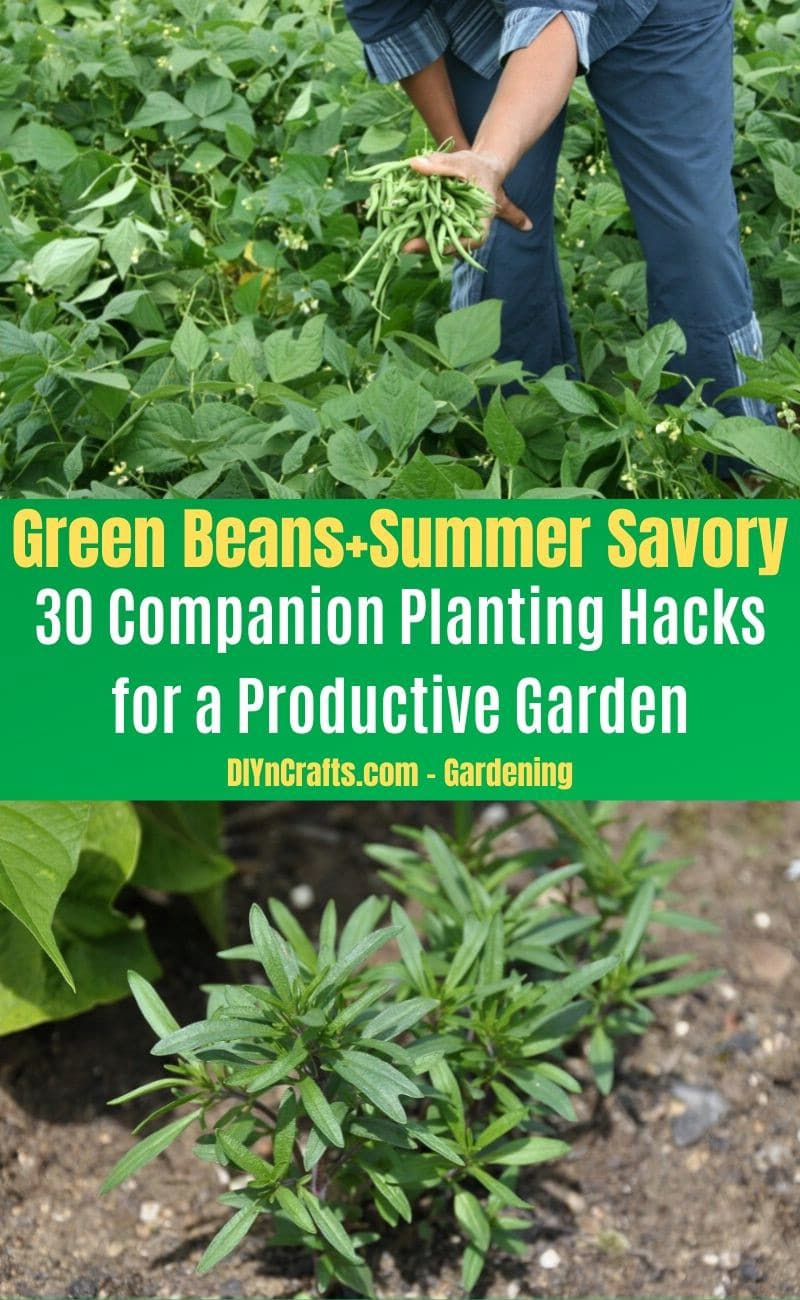 Green Beans and Summer Savory - Companion planting pairs