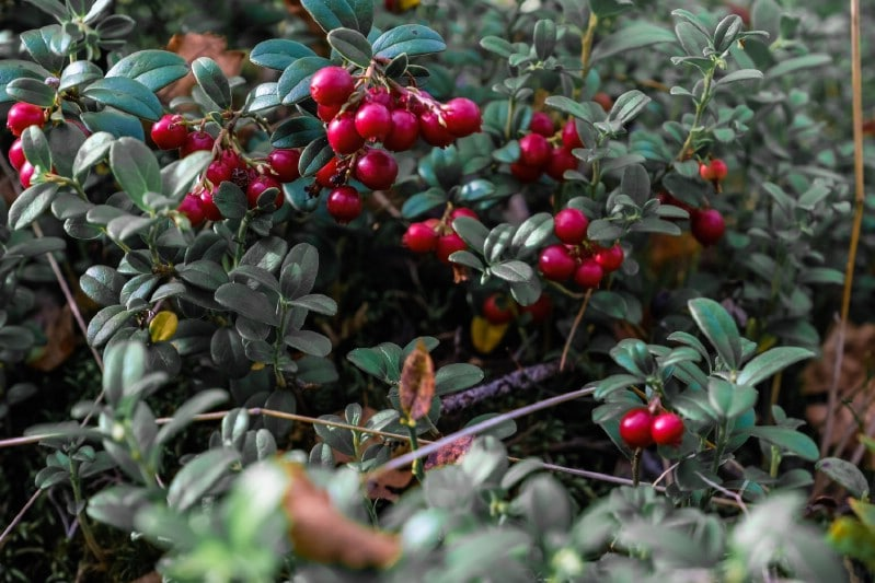Lingonberry - Berry bushes to grow in your garden