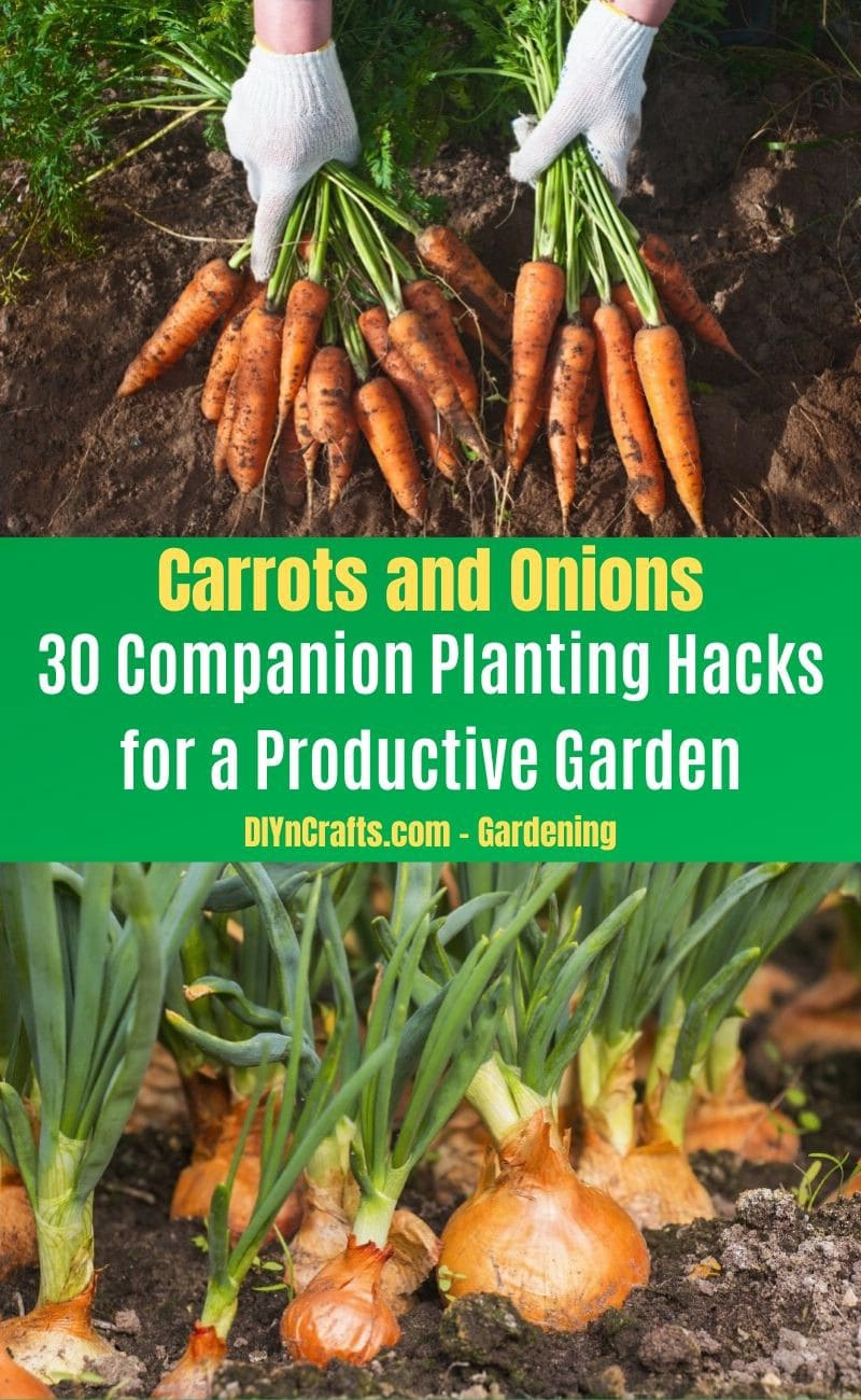 Carrots and Onions - Companion planting pairs