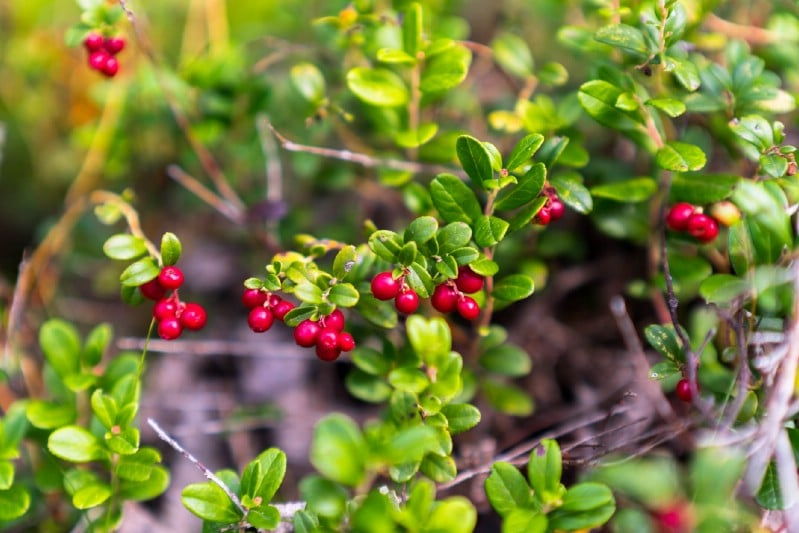 Cranberries - Berry bushes to grow in your garden