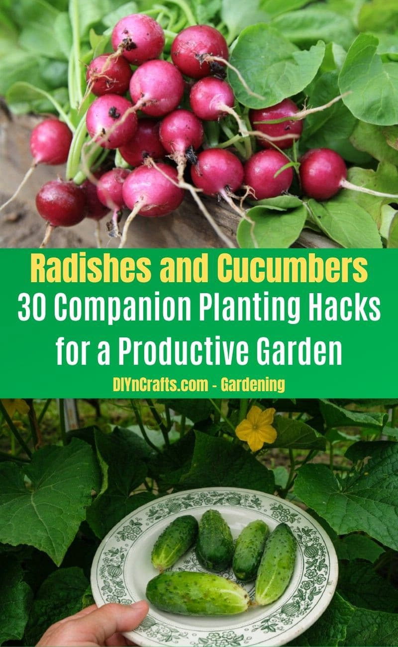 Radishes and Cucumbers - Companion planting pairs