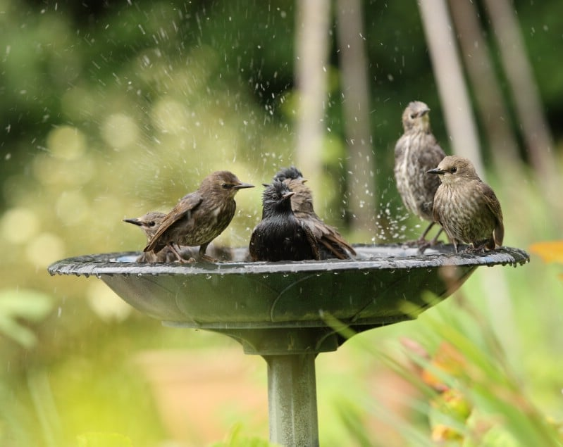 Bird family using a garden birdbath.