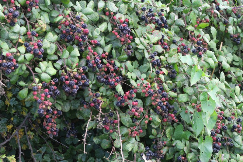 Dewberry - Berry bushes to grow in your garden