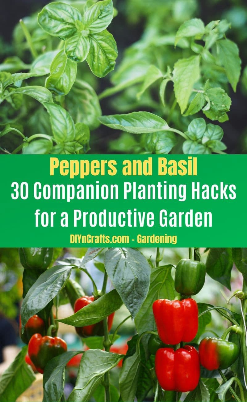 Peppers and Basil - Companion planting pairs