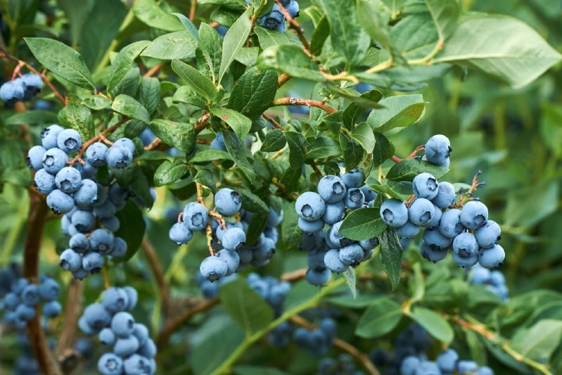 Blueberries - Berry bushes to grow in your garden