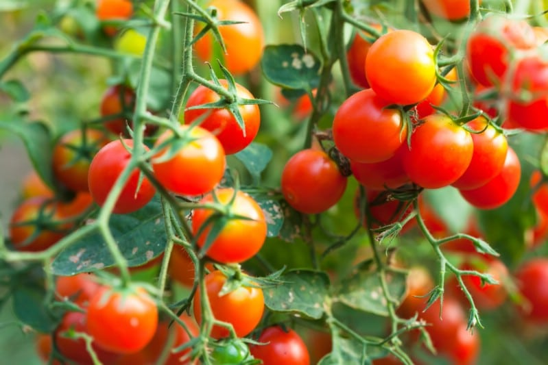 High yielding cherry tomato ready to be harvested