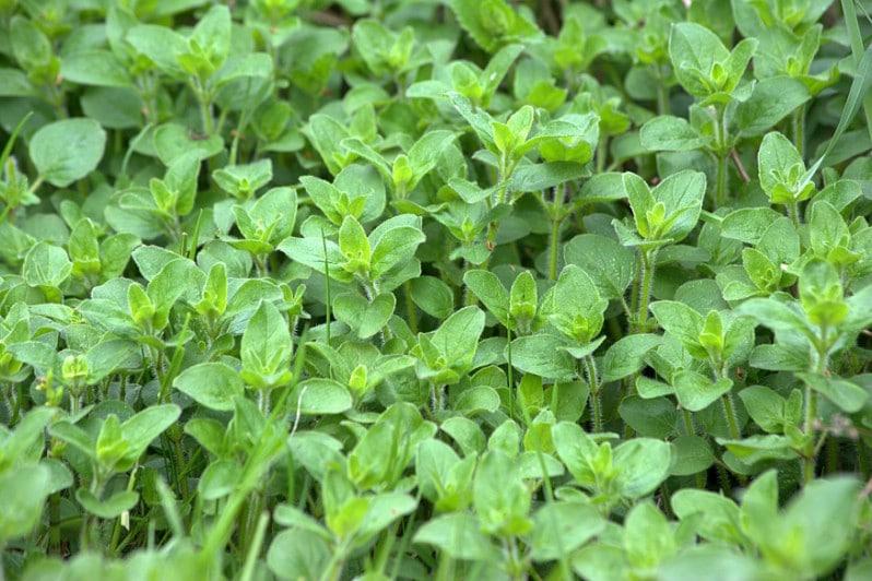 Oregano as groundcover under tomato plants.