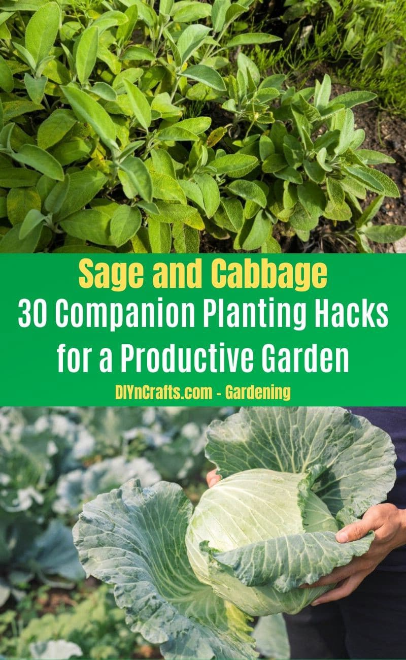 Sage and Cabbage - Companion planting pairs