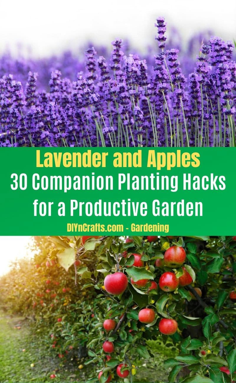 Lavender and Apples - Companion planting pairs