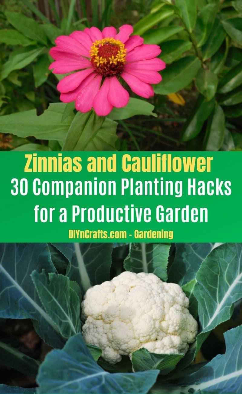 Zinnias and Cauliflower - Companion planting pairs