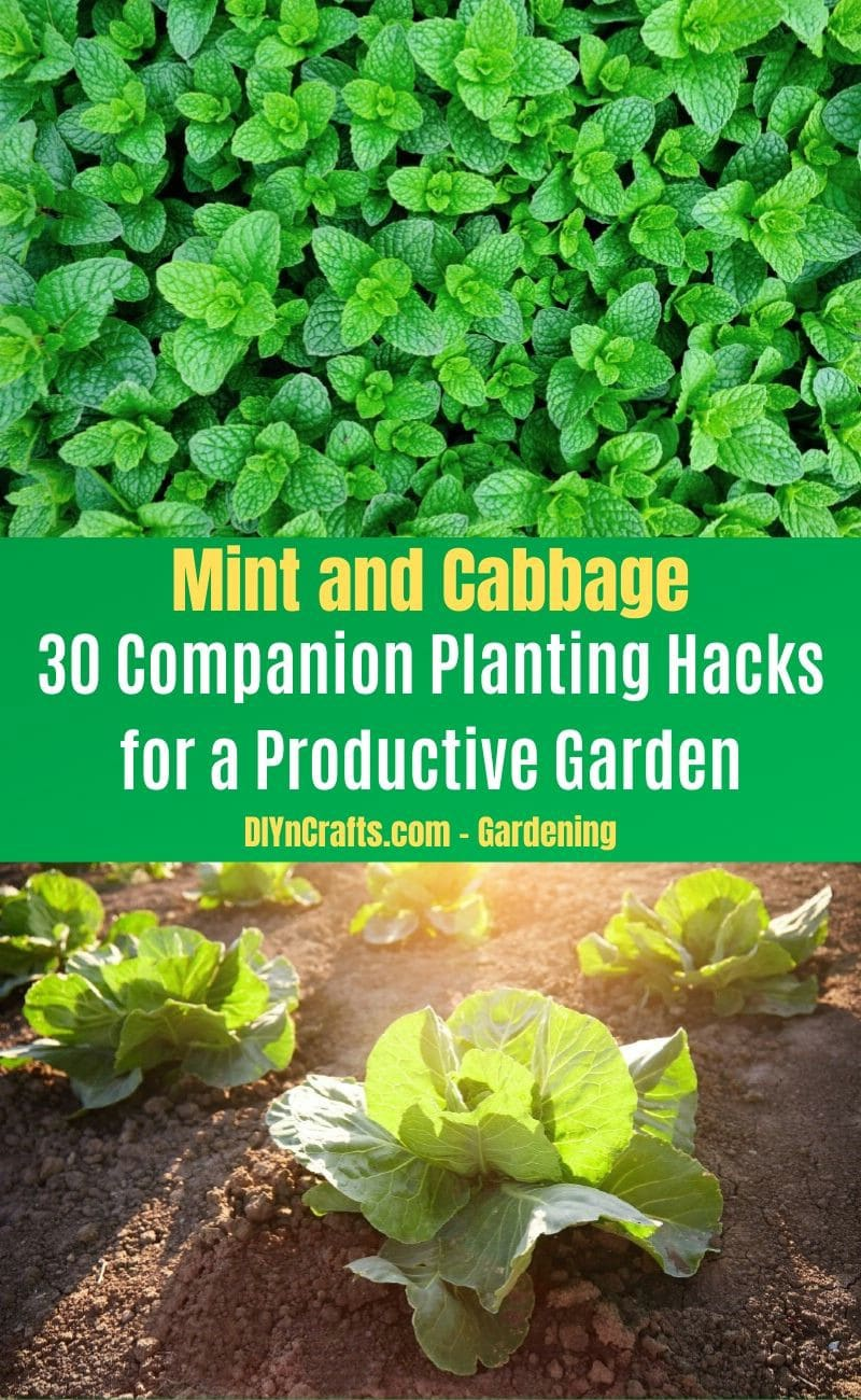 Mint and Cabbage - Companion planting pairs