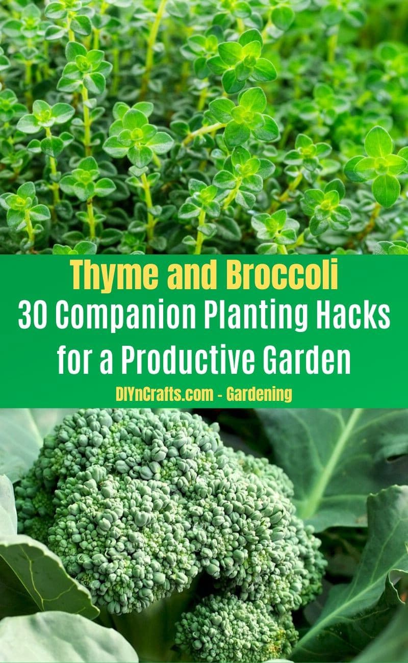 Thyme and Broccoli - Companion planting pairs