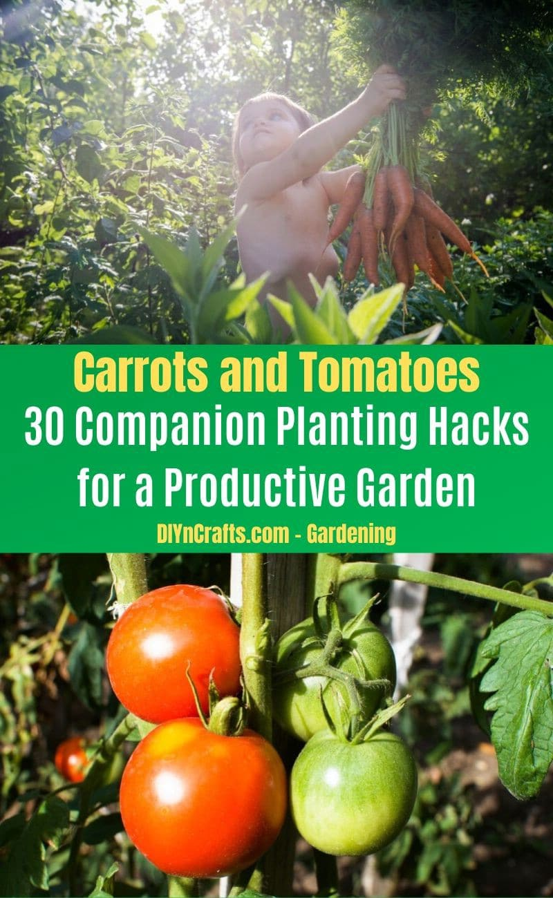 Carrots and Tomatoes - Companion planting pairs