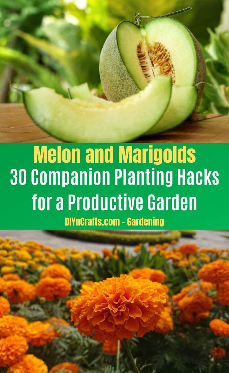 Melon and Marigolds - Companion planting pairs