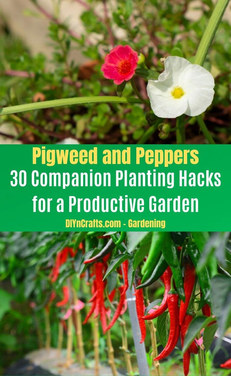 Pigweed and Peppers - Companion planting pairs