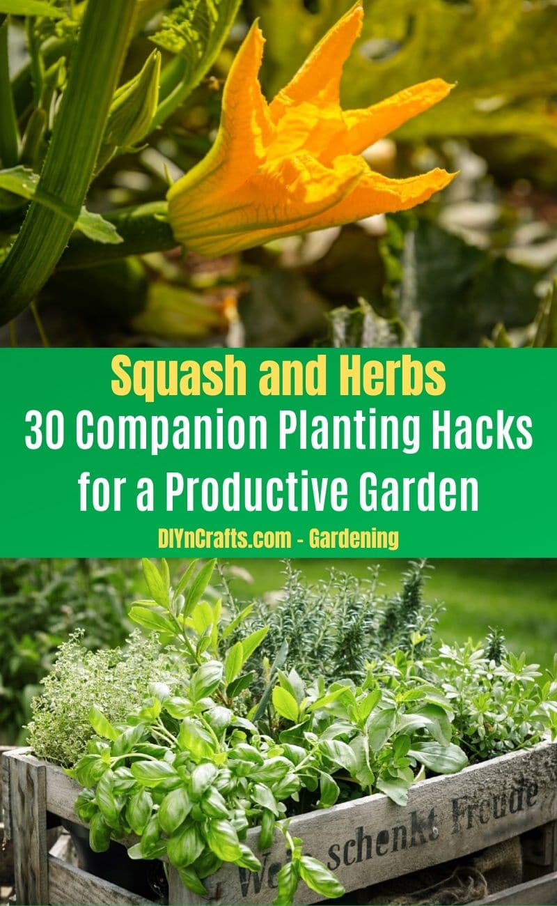 Squash and Herbs - Companion planting pairs