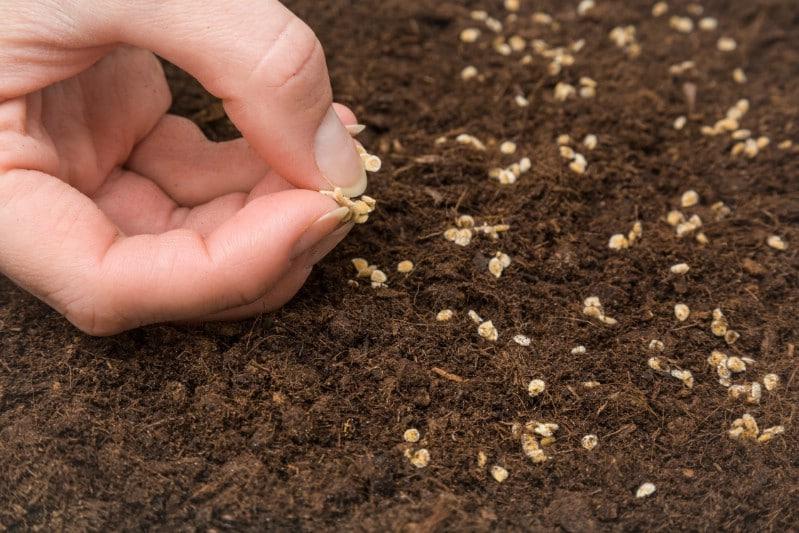 Planting tomato seeds.