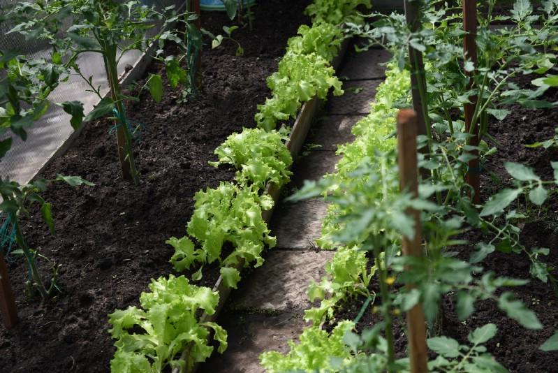 Lettuce grown under tomato plants.