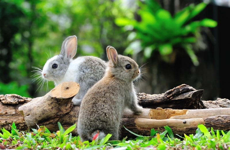 Rabbits in the garden.