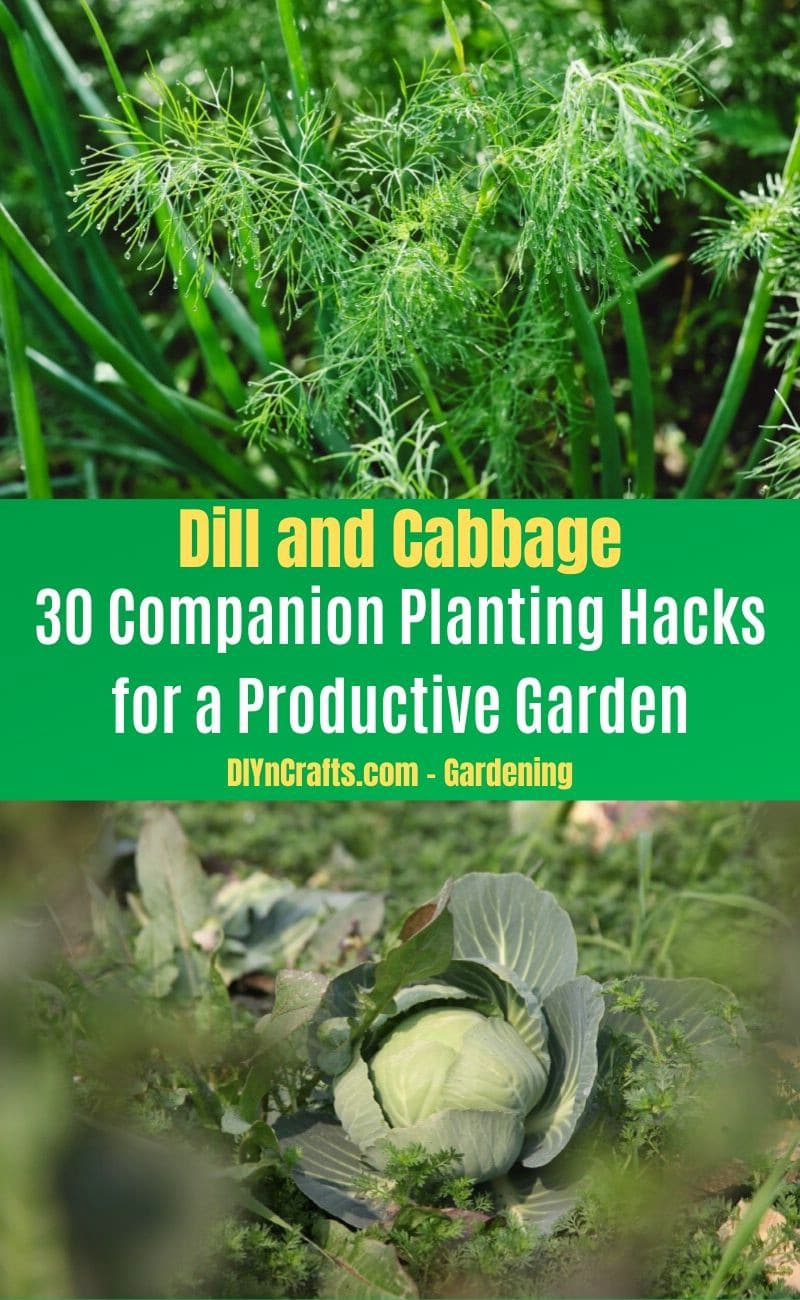 Dill and Cabbage - Companion planting pairs