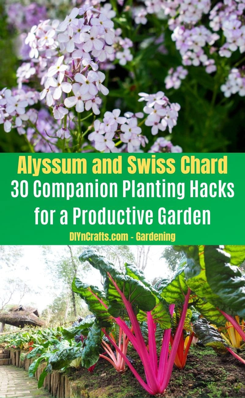Alyssum and Swiss Chard - Companion planting pairs