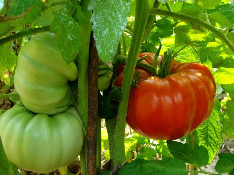 Hardened tomato plants.