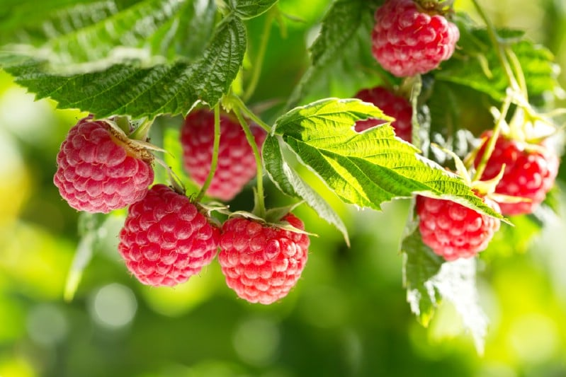 Raspberry - Berry bushes to grow in your garden
