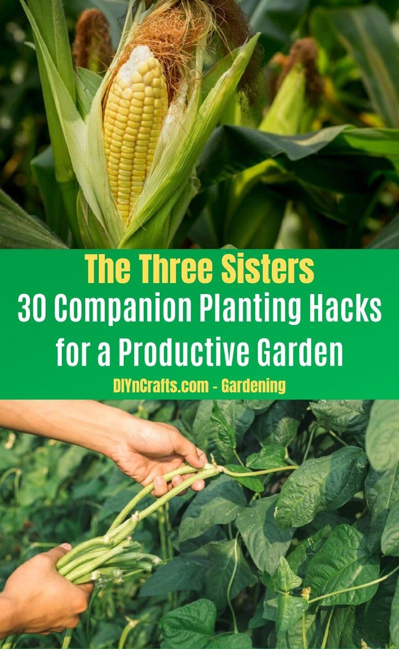 The Three Sisters - Companion planting pairs