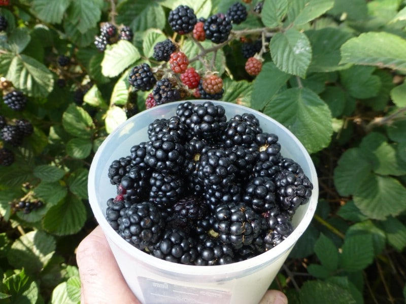 Marionberry - Berry bushes to grow in your garden